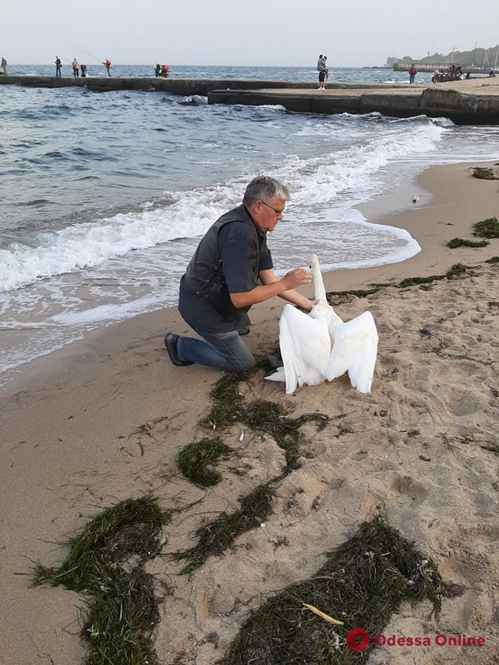 В Одессе сотрудники зоопарка спасли одинокого лебедя