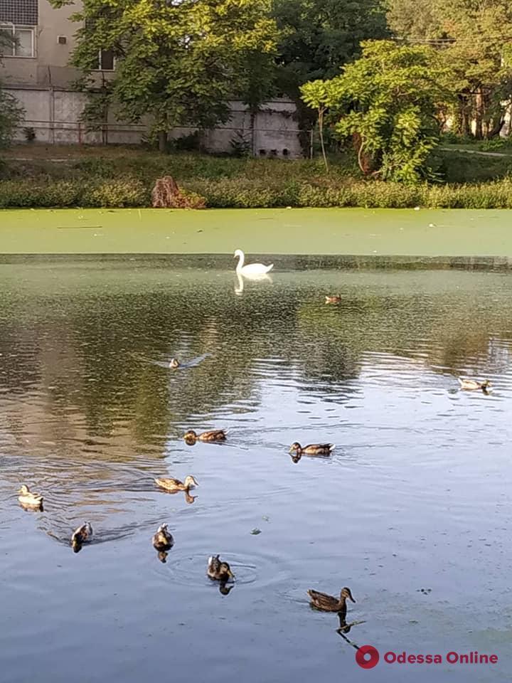 Одесский зоопарк взял под опеку дикого лебедя в парке Савицкого