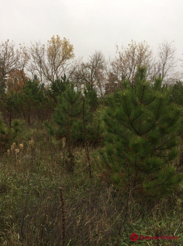 Лесхозы Одесской области начали продавать новогодние сосны