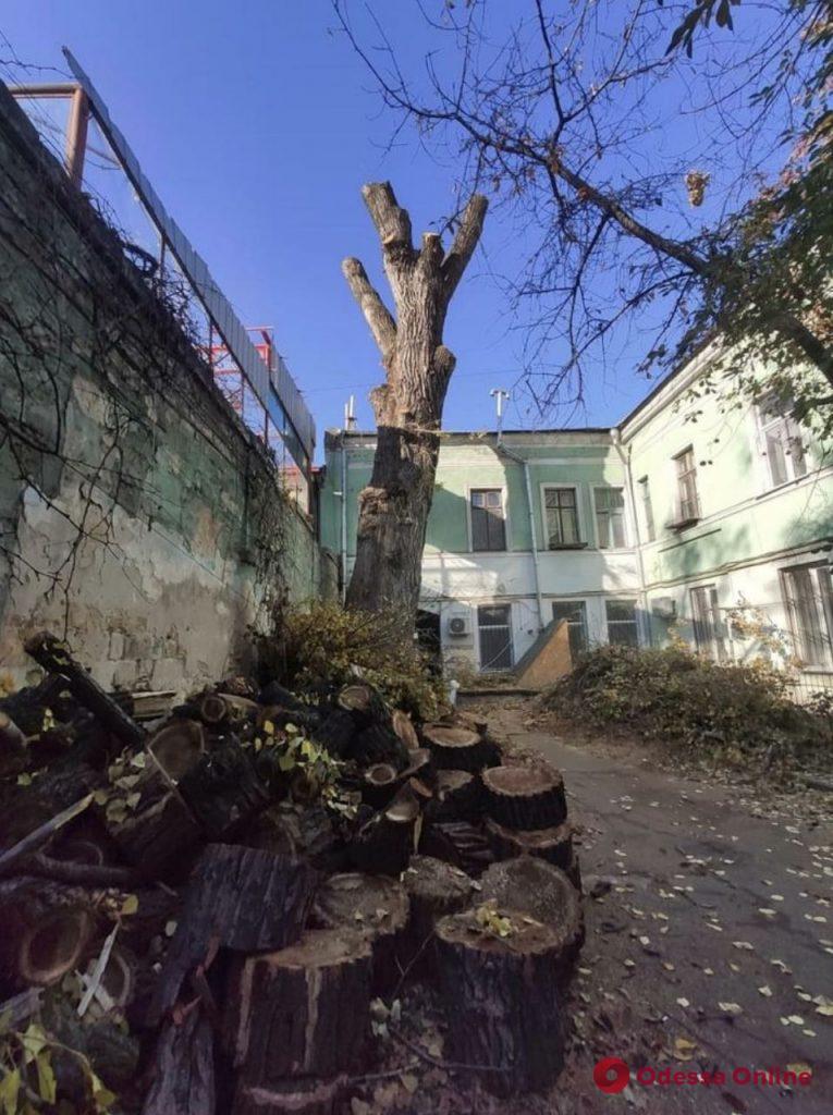 В центре Одессы начали пилить знаменитый «Пушкинский» тополь (фото)