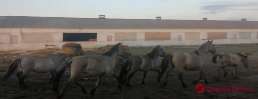 В дельте Дуная выпустят на свободу привезенных из Латвии диких лошадей