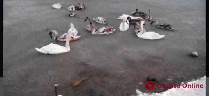 На Хаджибейском лимане лебеди примерзли ко льду (фото)