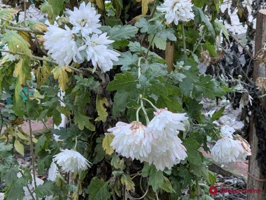 В январе Одесса цветет и пахнет (фото)