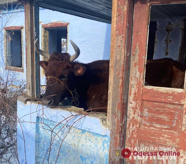 Держал истощенных коров на морозе: жителя Одесской области привлекут в ответственности за жестокое обращение с животными