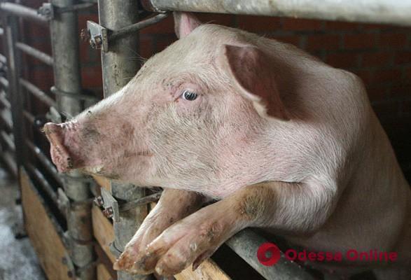 В Одесской области произошла вспышка африканской чумы свиней