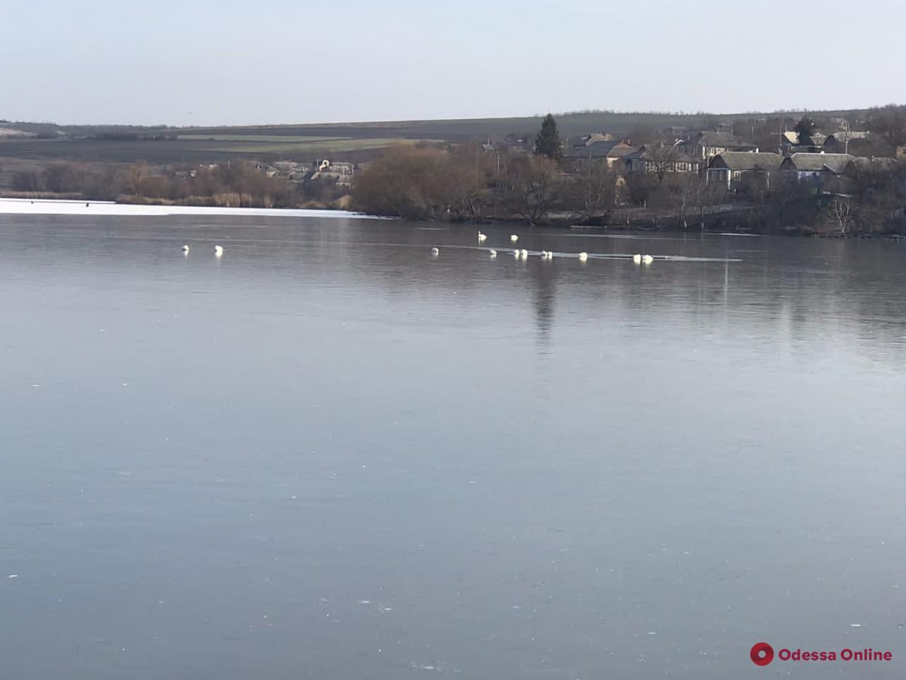 В Одесской области спасли 16 лебедей