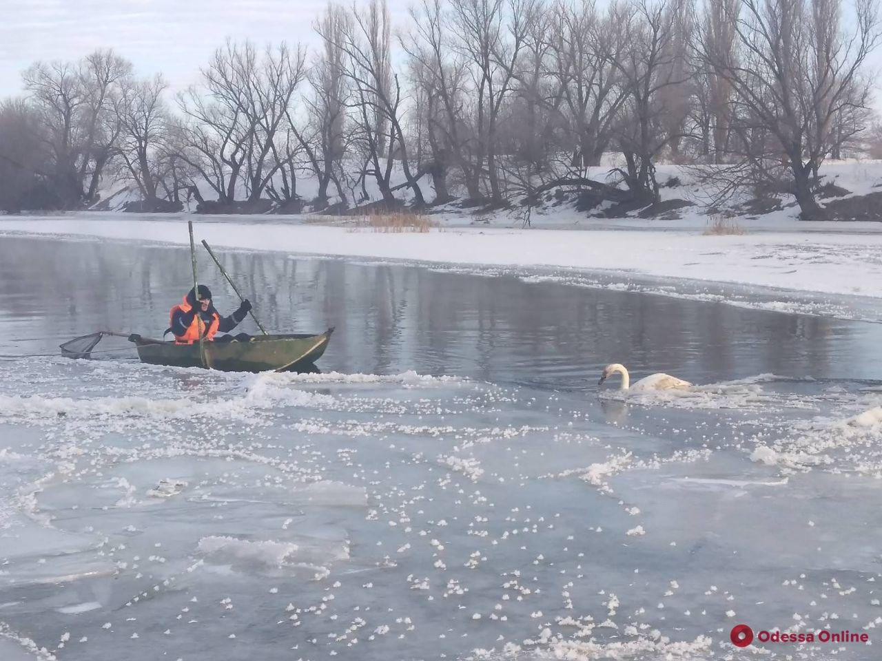 В Одесской области из ледяной ловушки спасли лебедя (фото)