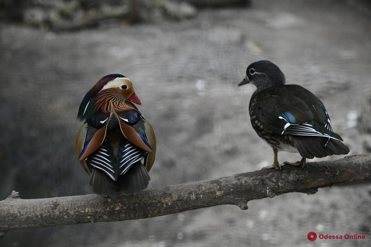 В одесском зоопарке выбрали пару года (фото)