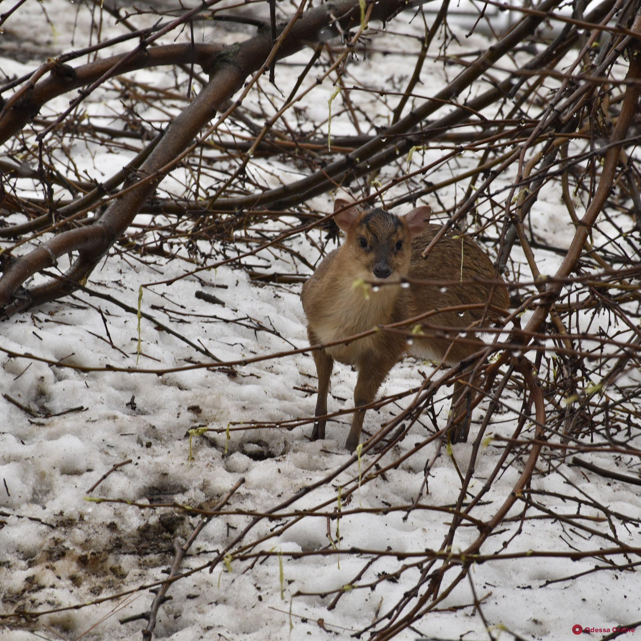 В одесском зоопарке родился олененок