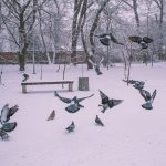 снег зима погода птица птицы голубь голуби