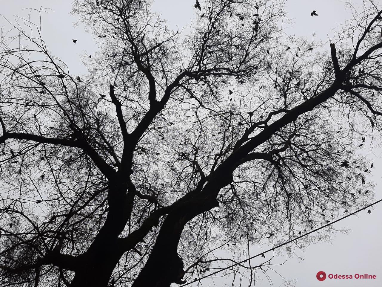 В Одессе нашествие скворцов — комментарий орнитолога