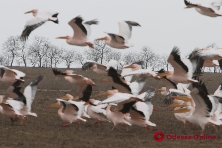 В Одесскую область после зимовки вернулись стаи розовых пеликанов