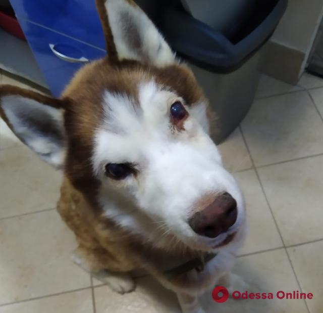 Жестокое нападение на хаски в Холодной балке: псу удалили один глаз
