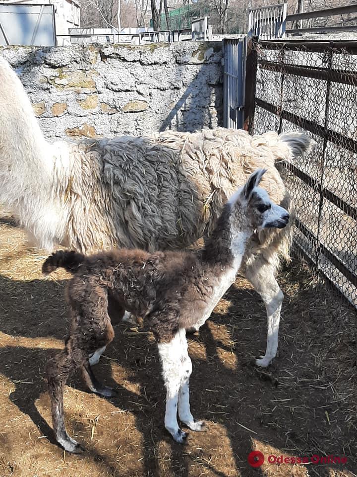 В Одесском зоопарке родился детеныш ламы