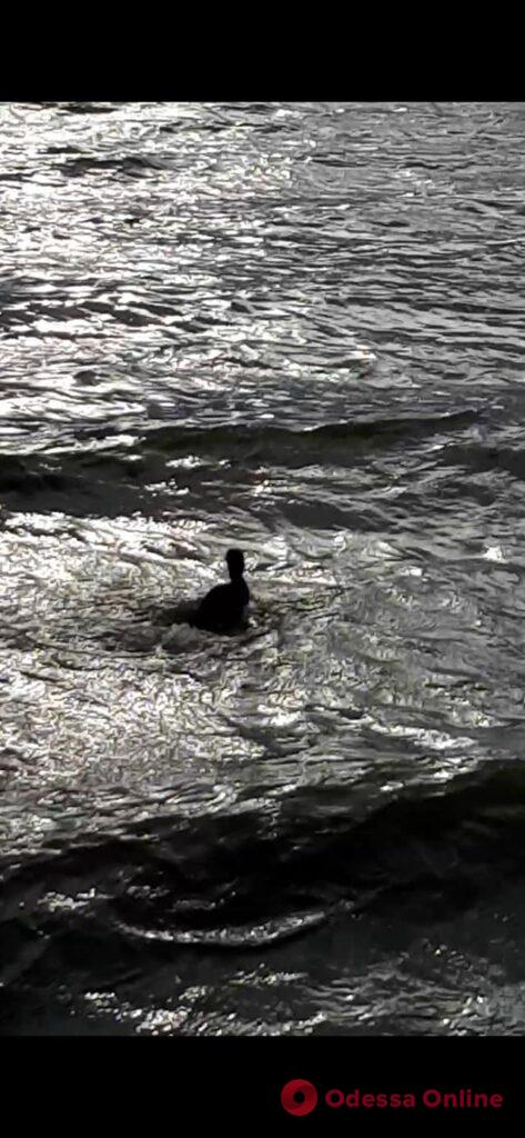 На Днестровском лимане выпустили на волю спасенную чомгу (фото, видео)