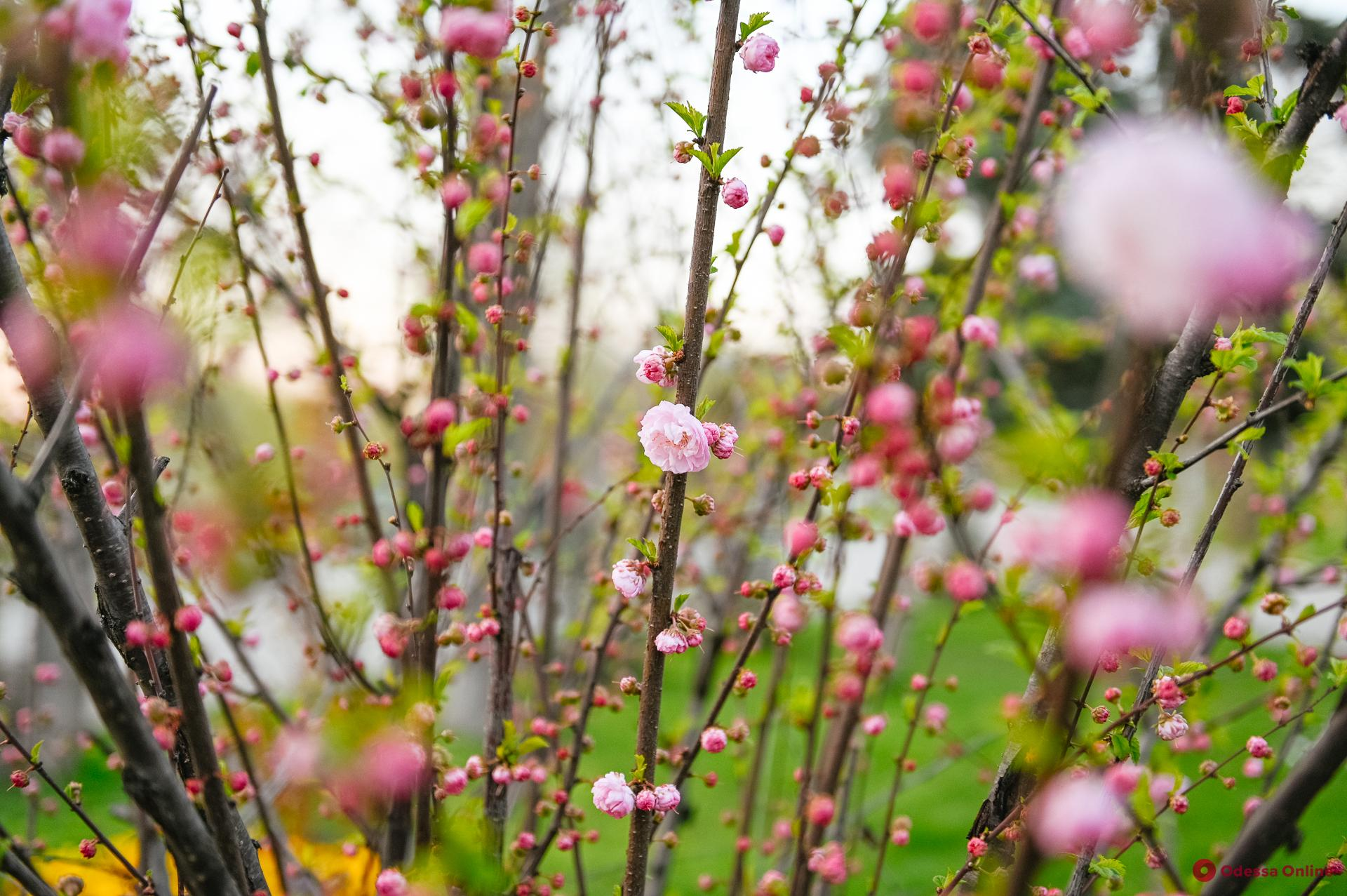В Одессе цветет сакура (фоторепортаж)