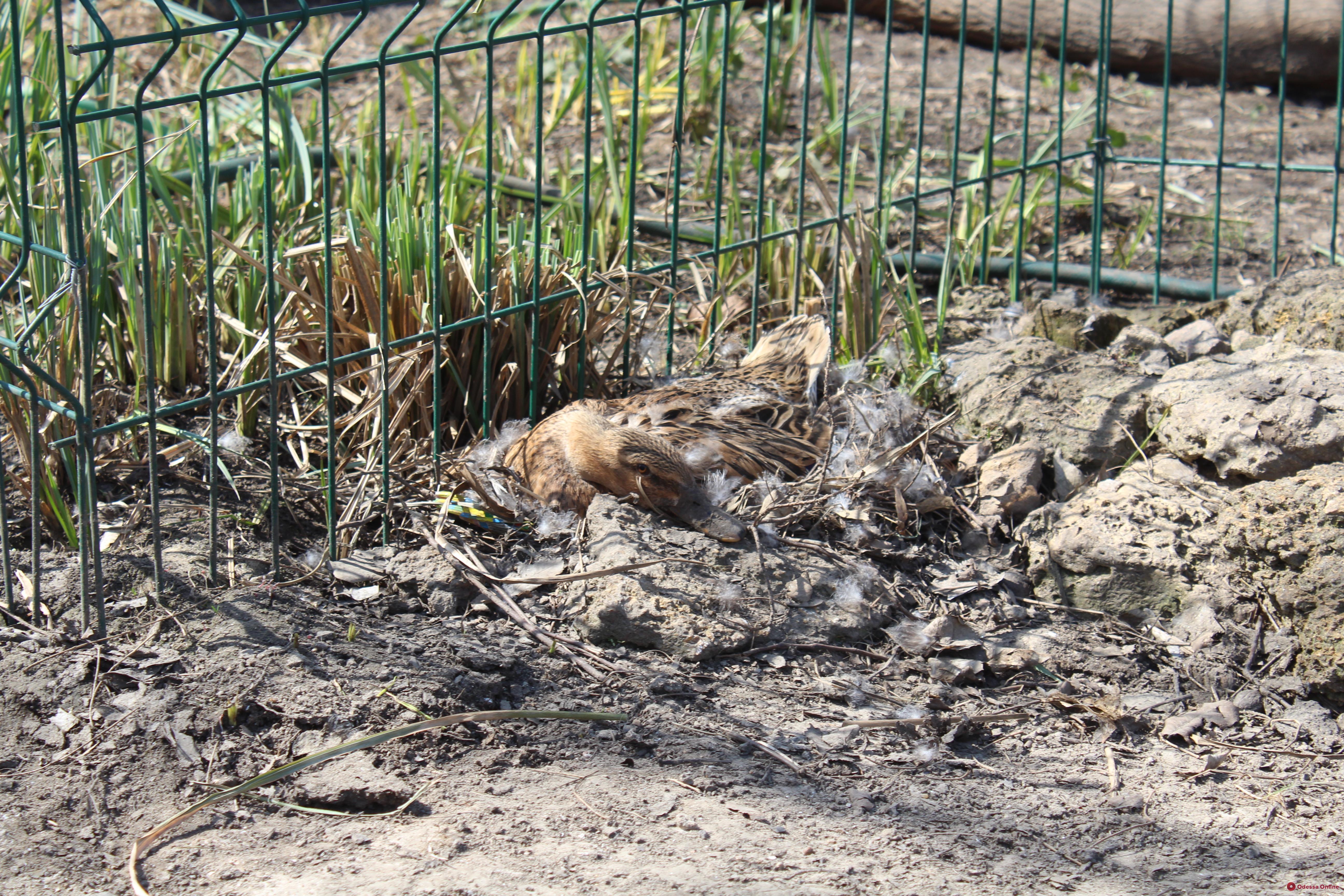 Муфлоны, ламы и мунтжаки: в Одесском зоопарке начался бэби-бум