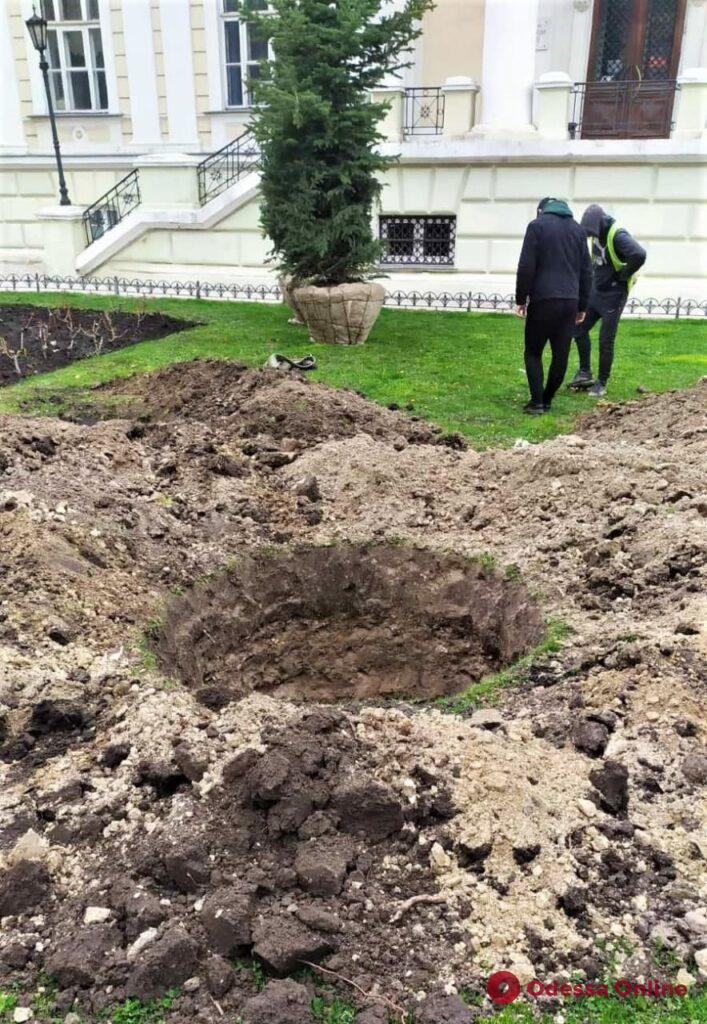 Возле Думской площади высадили голубые ели