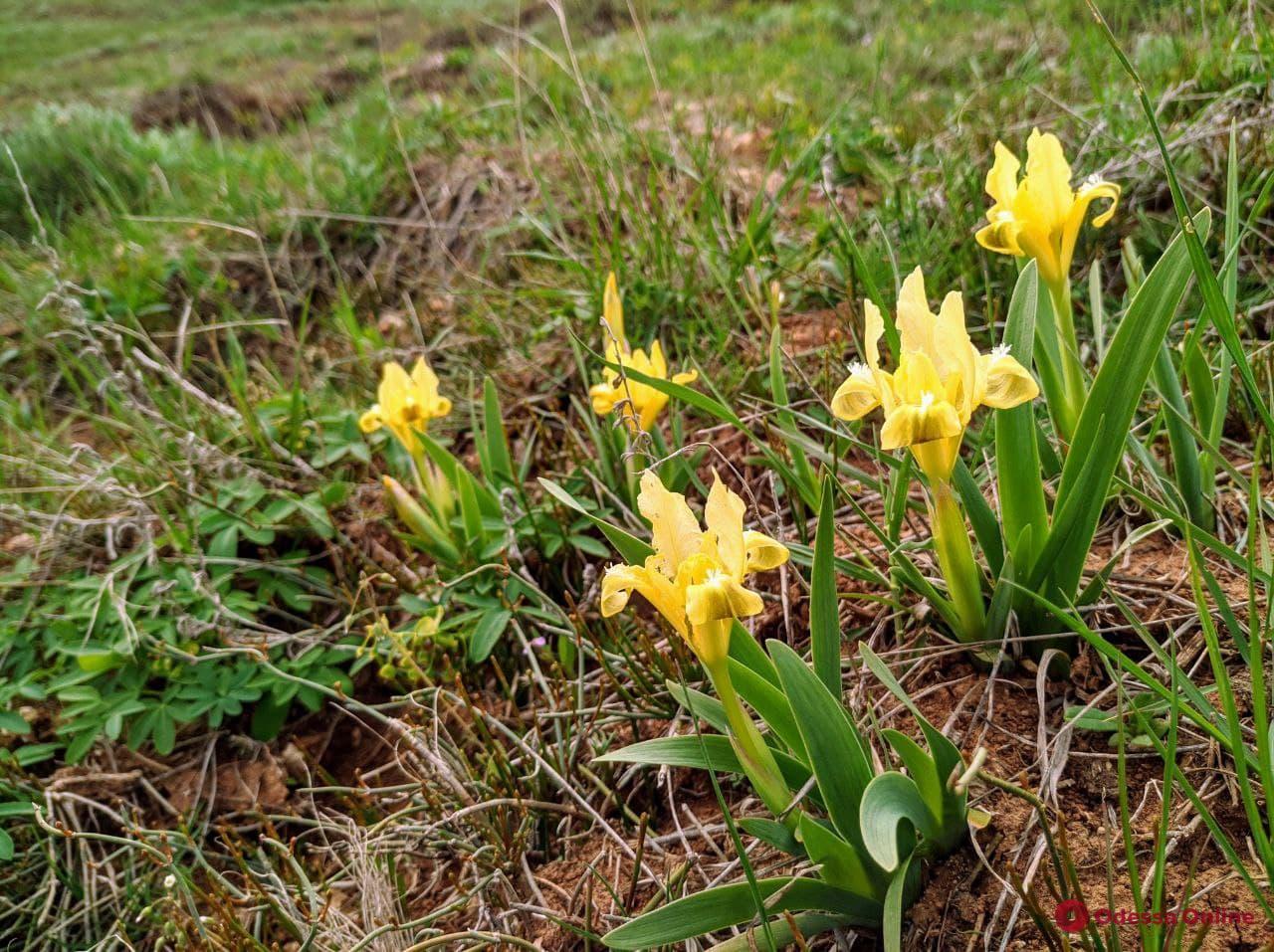 Цветущий и безлюдный: фоторепортаж с весеннего Куяльника