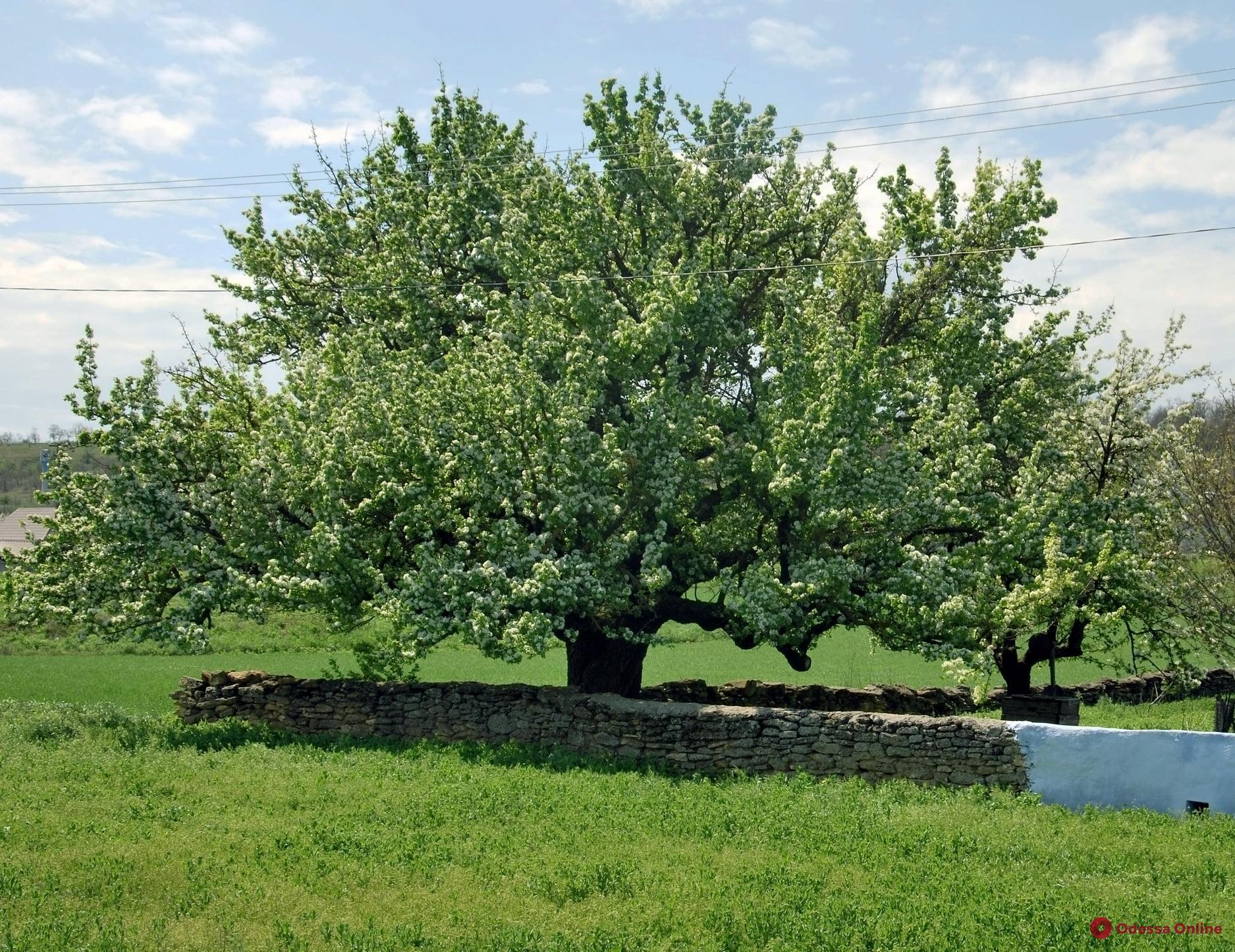 В Одесской области зацвела самая старая груша в Украине