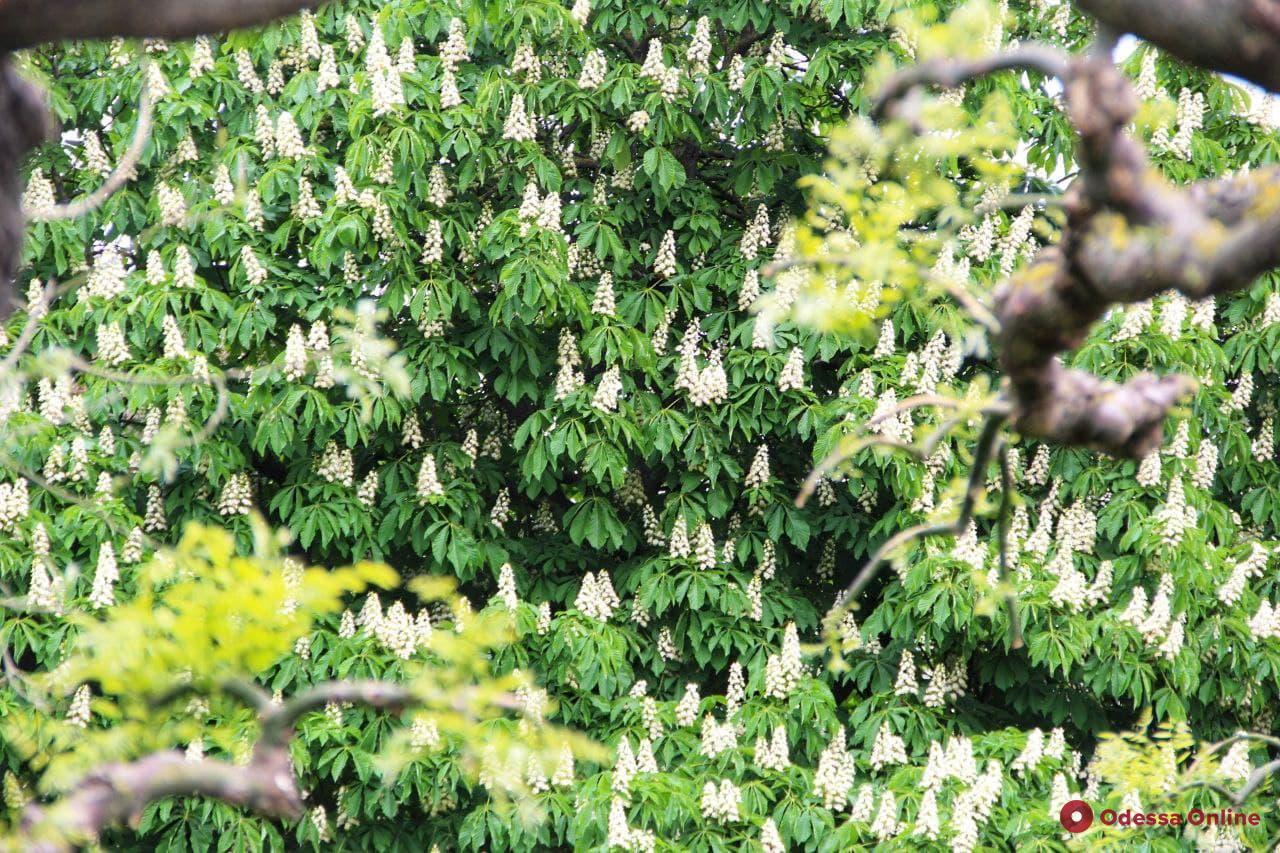 В Одессе цветут каштаны (фоторепортаж)