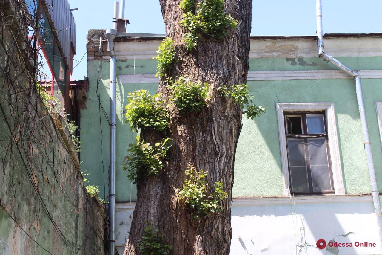 Практически погиб, но реанимирован: в Одессе пустил побеги знаменитый «Пушкинский» тополь
