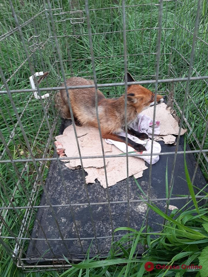 Директор Одесского зоопарка выпустил на волю пойманную в курятнике лисицу (видео)