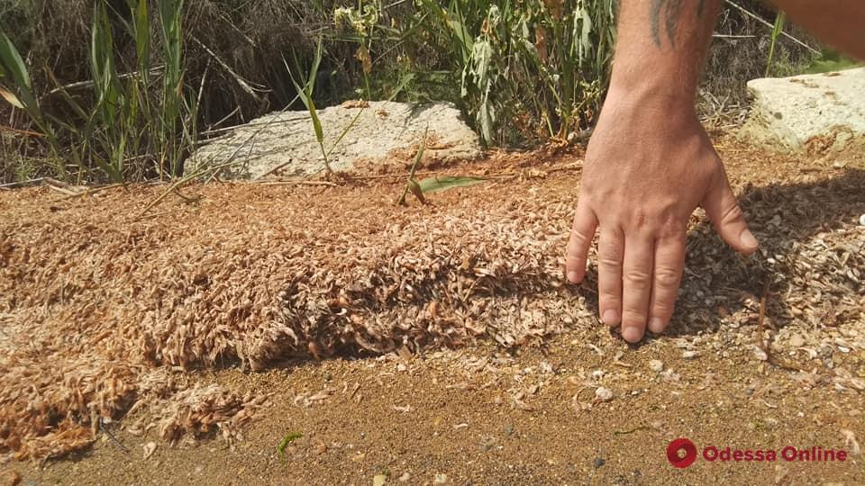 На берег Хаджибейского лимана выбросило тысячи мертвых креветок (фото)