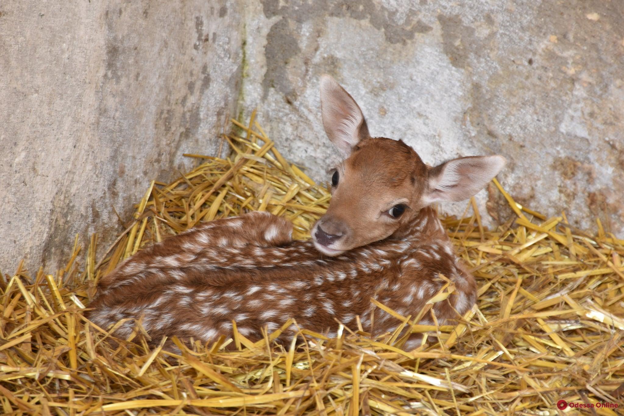 В одесском зоопарке родились пять оленят