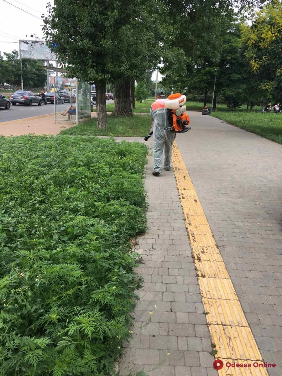 Одесские коммунальщики начали борьбу с амброзией на месяц раньше обычного