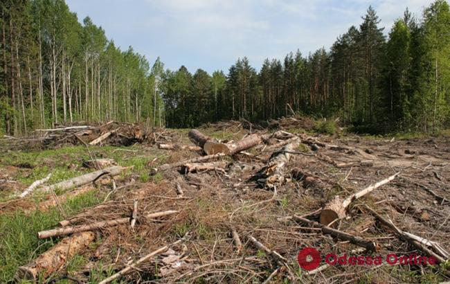 «Не заметил» вырубку деревьев на 1,5 миллиона: в Одесской области лесничий ответит в суде за халатность