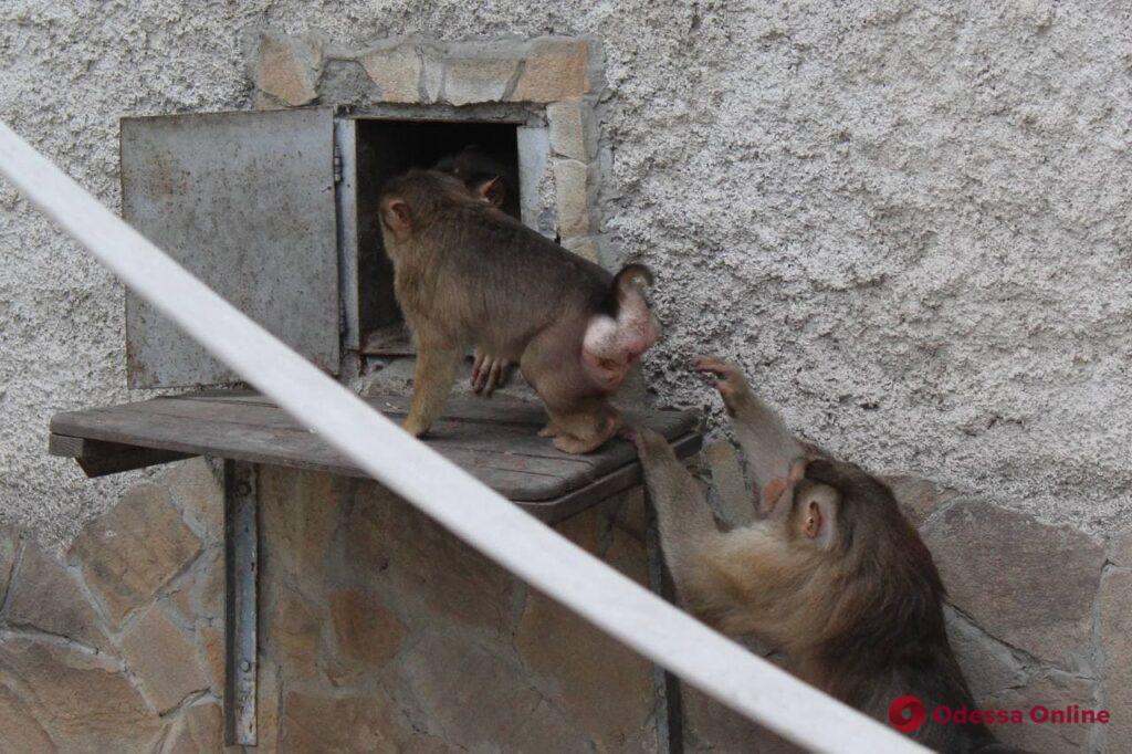 В Одесском зоопарке впервые поселились шесть свинохвостых макак