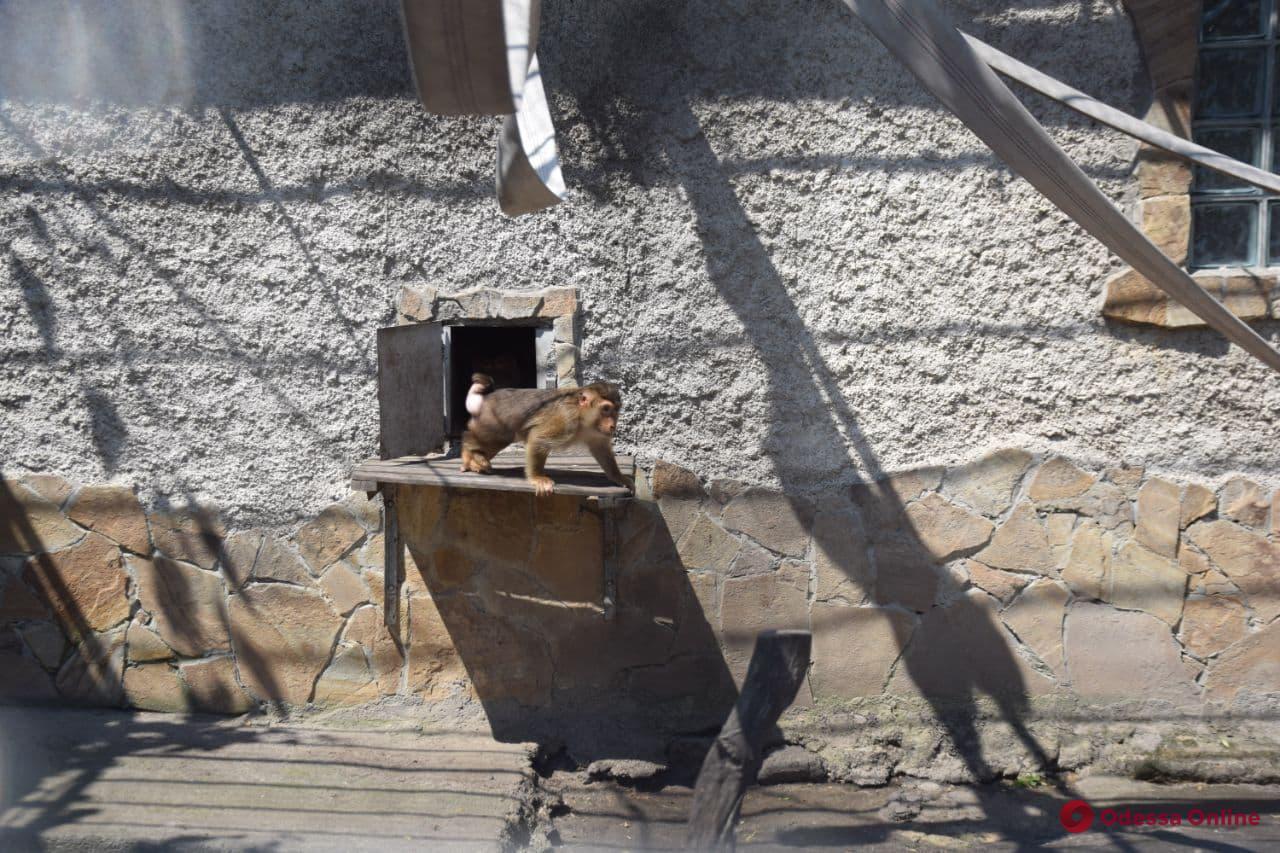 В Одесском зоопарке свинохвостые макаки отметили новоселье (фото, видео)
