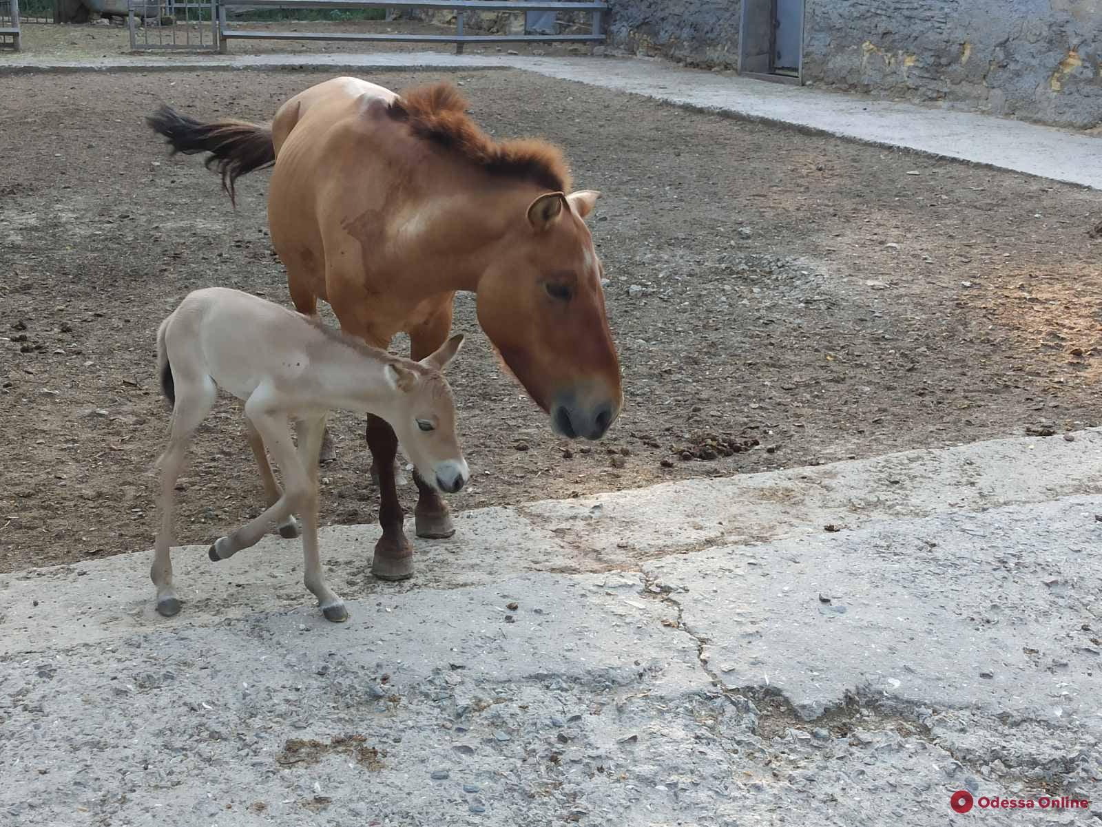 В Одесском зоопарке родился жеребенок лошади Пржевальского (фото)