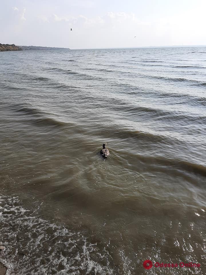 На Днестровском лимане выпустили на волю спасенных камышницу и гагару