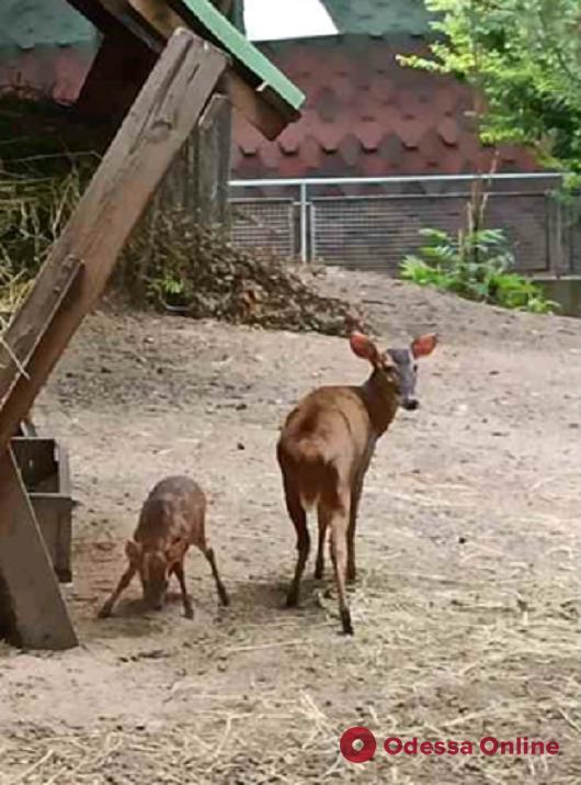 В Одесском зоопарке очередное пополнение — родился китайский мунтжак