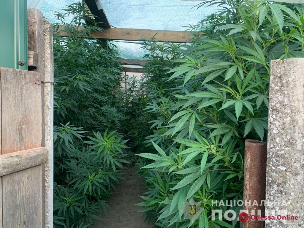 На юге Одесской области местный житель выращивал в теплицах коноплю (фото)