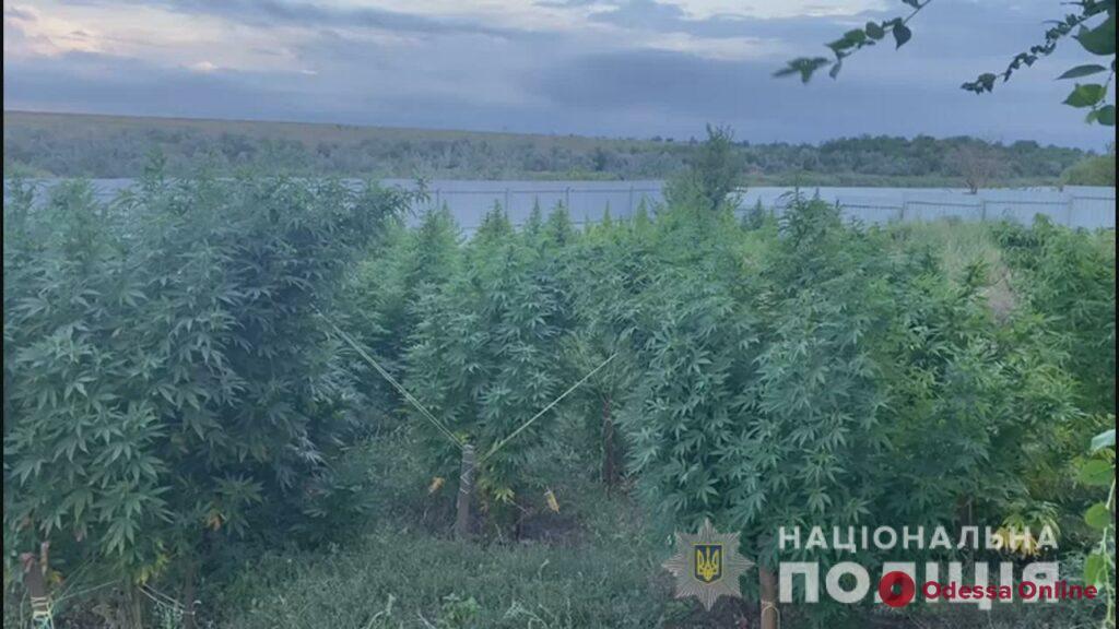 Выращивалась по всем правилам аграрного искусства: под Одессой обнаружили две плантации конопли (фото, видео)