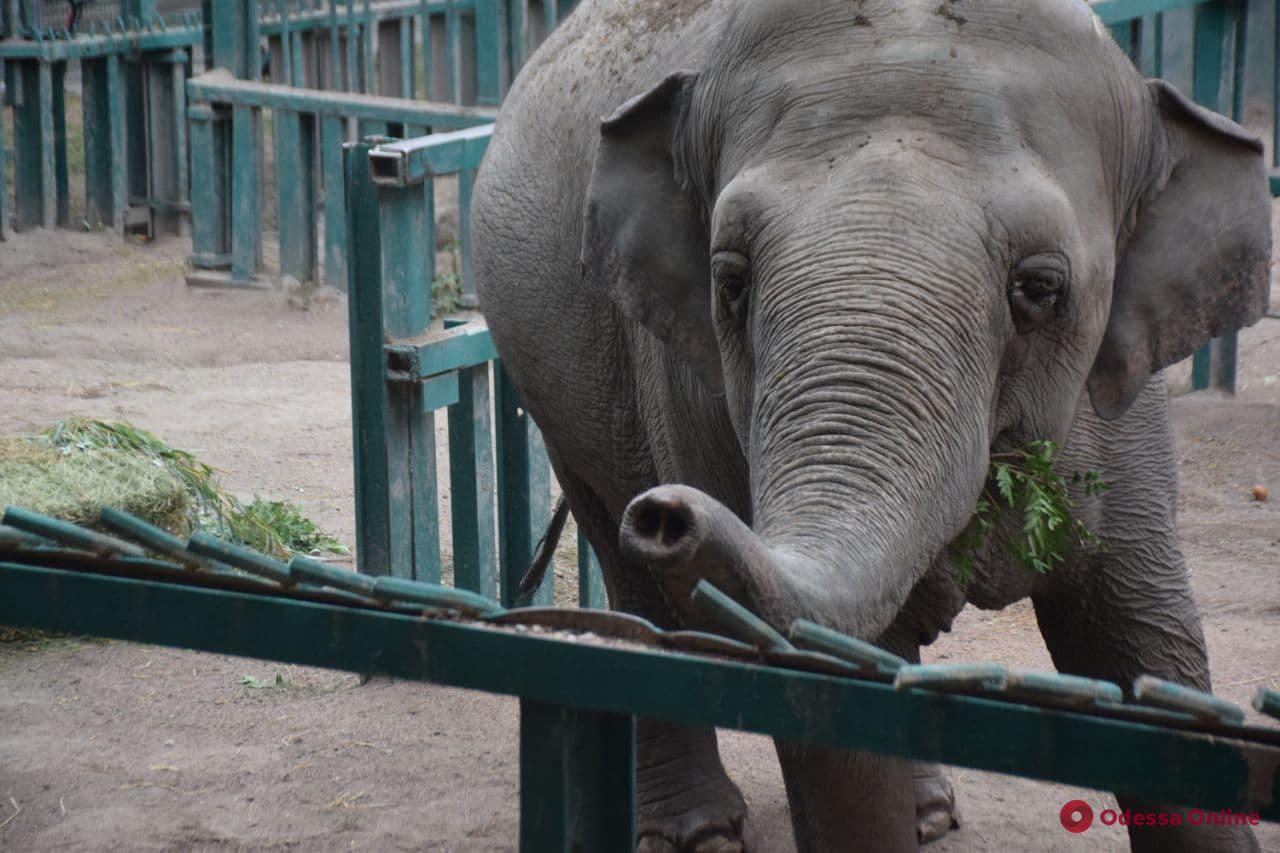В Одесском зоопарке отметили День рождения слонихи Венди