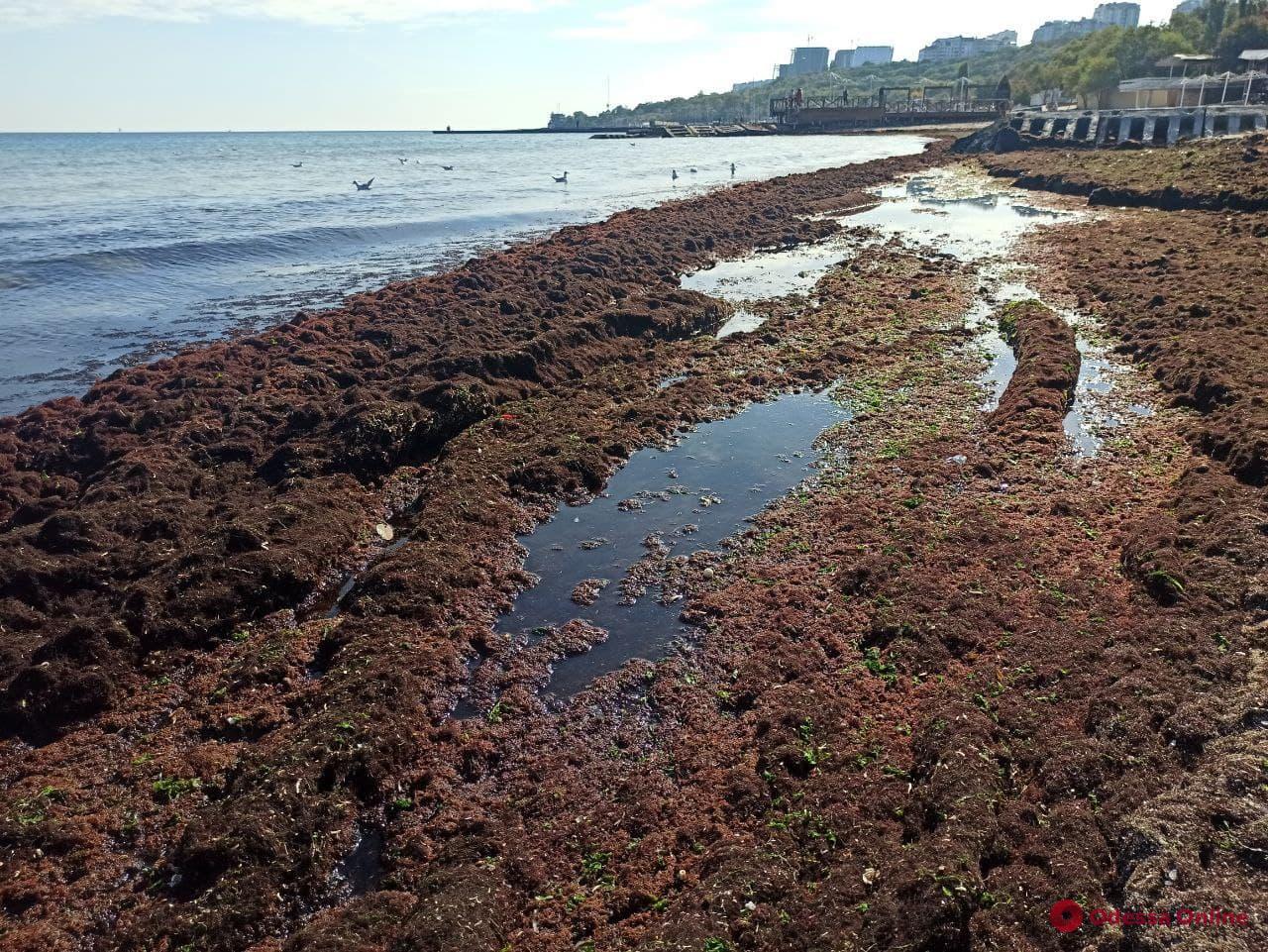 Мертвые медузы и водоросли заполонили пляжи Одессы